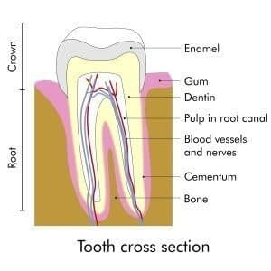 Cross section of a tooth showing the parts of the tooth and what is affected during a root canal procedure at State of the Art Dental Group in Rockville, MD.